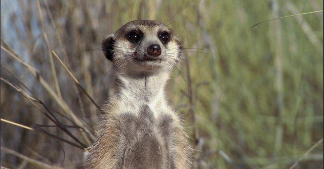 Regarder: Le Clan des suricates
