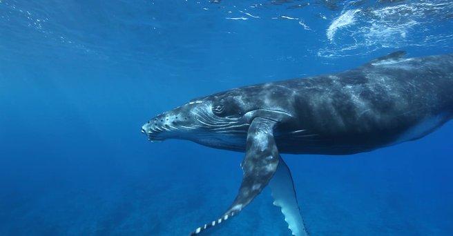 Regarder: La baleine à bosse