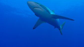 Le requin soyeux