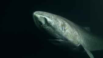 Le requin charognard
