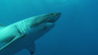 Le requin blanc