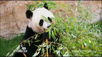 Pandas: des géants superstars