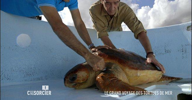 Regarder: Le grand voyage des tortues de mer