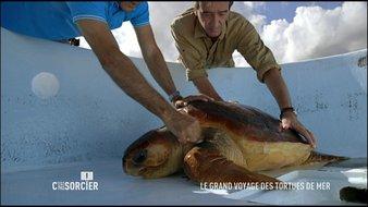 Le grand voyage des tortues de mer