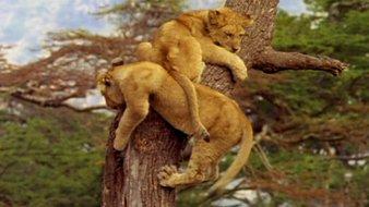 Le bébé lion