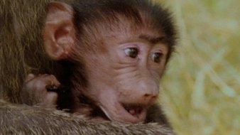 Le bébé babouin