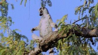 Le bébé lémurien