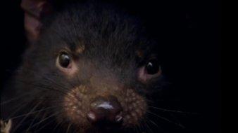 Le bébé diable de tasmanie