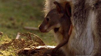Le bébé kangourou