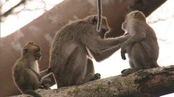 Le bébé macaque