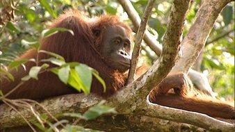 Le bébé Orang-outan