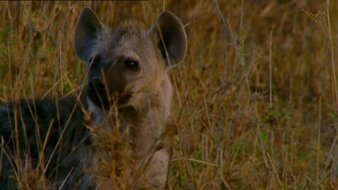 Le bébé hyène
