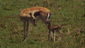 Le bébé gazelle