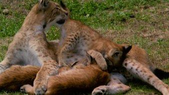 Le bébé Lynx