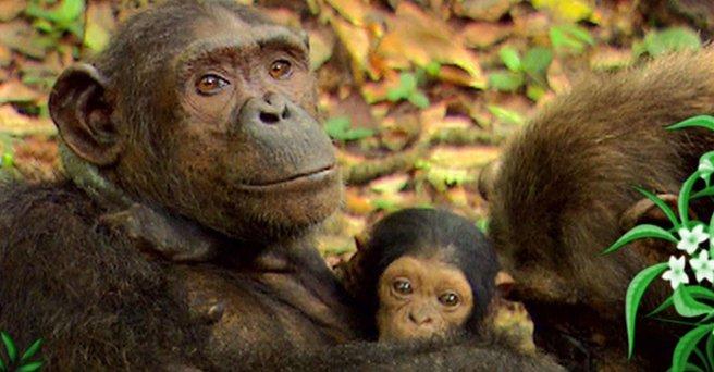 Regarder: Les chimpanzés - 1ère partie