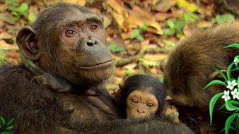 Les chimpanzés - 1ère partie