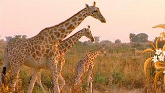 Les girafes