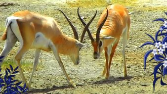 Les antilopes