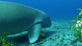 Les dugongs