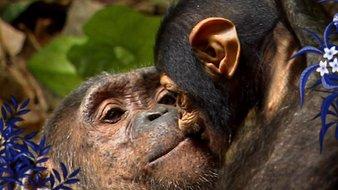 Les chimpanzés - 2ème partie