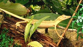 Les geckos