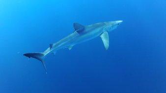 Le requin peau bleue