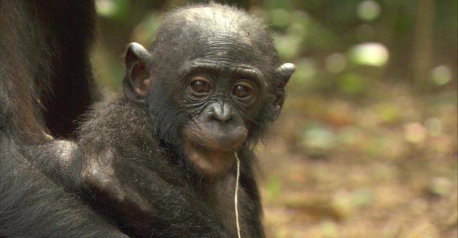 Regarder: Bonobos