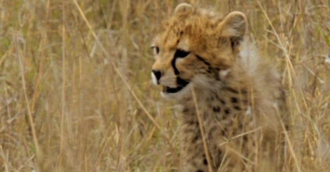 Regarder: Le bébé guépard